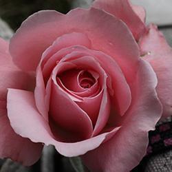 Eirene: Rosedreams.net